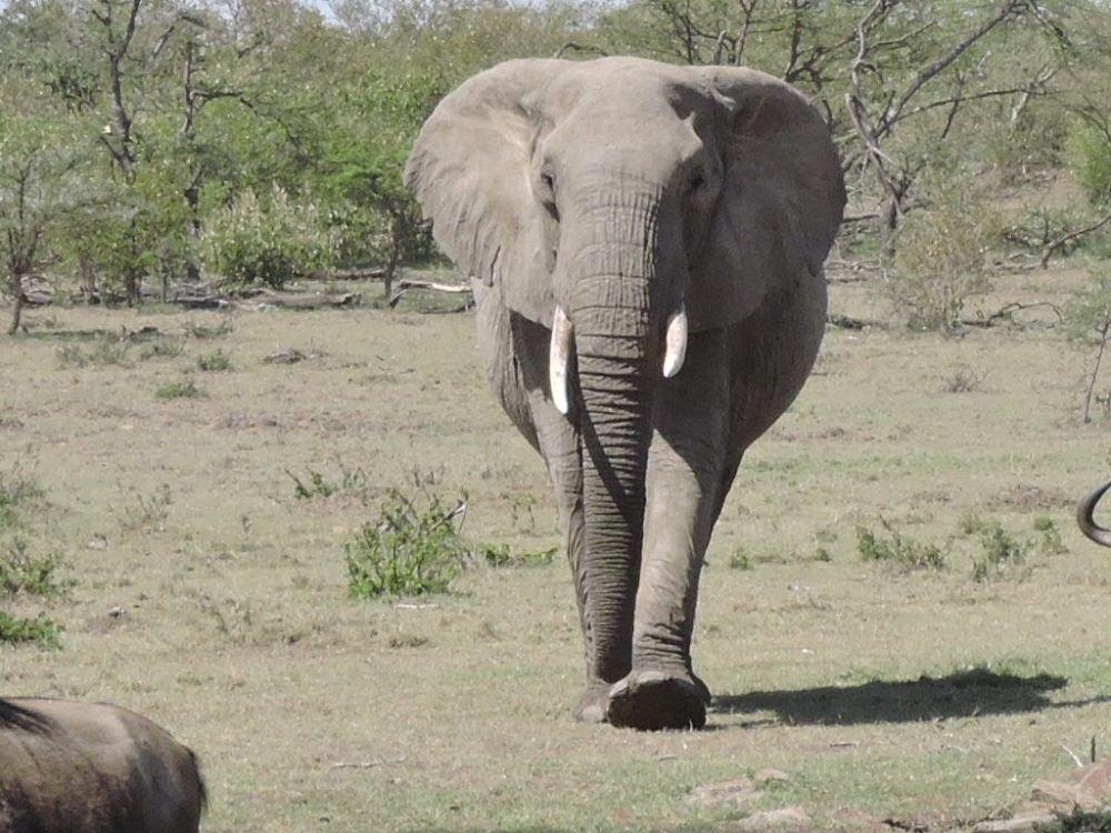 African Elephant Kenya
