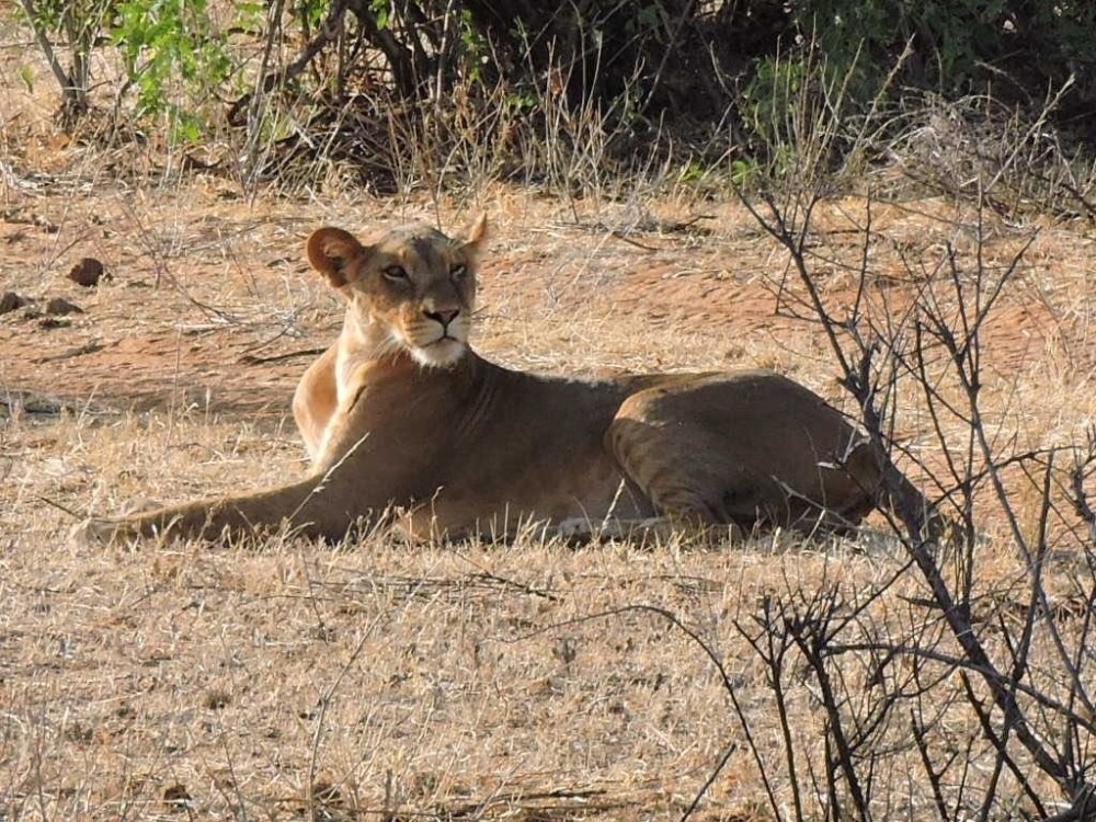 African-lioness