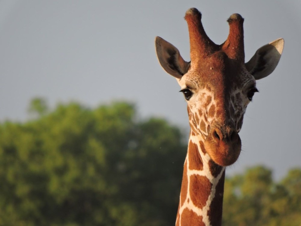 Giraffe-Africa